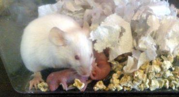 Содержание мышей